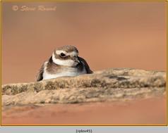 ringed-plover-45.jpg