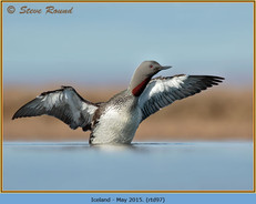 red-throated-diver- 97.jpg