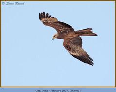 black-kite-02.jpg