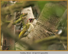 green-woodpecker-06.jpg