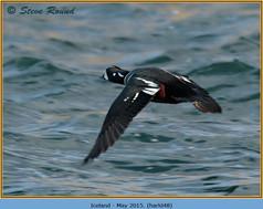 harlequin-duck-48.jpg