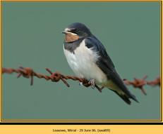 swallow-09.jpg