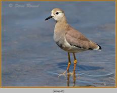 white-tailed-lapwing-40.jpg