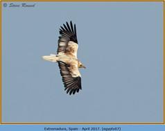 egyptian-vulture-07.jpg