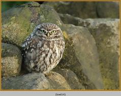 little-owl-14.jpg