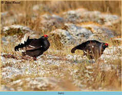 black-grouse- 91.jpg