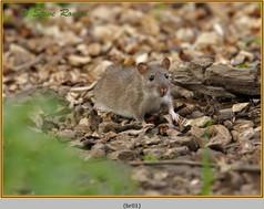 brown-rat-01.jpg
