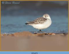 sanderling-65.jpg