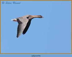 pink-footed-goose-59.jpg