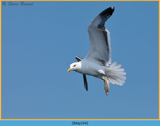 lesser-black-backed-gull-104.jpg
