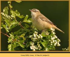 sedge-warbler-12.jpg
