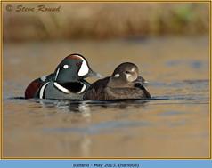 harlequin-duck-08.jpg