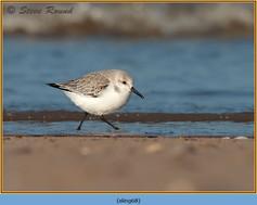sanderling-68.jpg