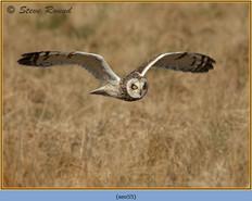 short-eared-owl-55.jpg