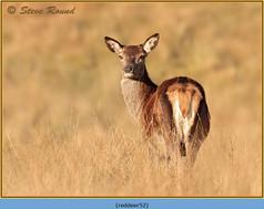 red-deer-52.jpg