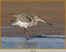 bar-tailed-godwit-18.jpg