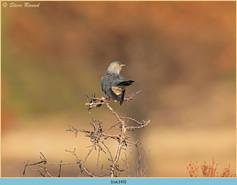 cuckoo-143.jpg