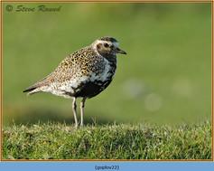 golden-plover-22.jpg