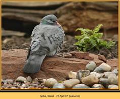 stock-dove-16.jpg
