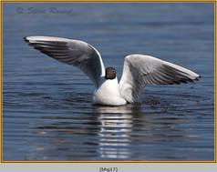 black-headed-gull-17.jpg