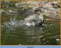 sparrowhawk-25.jpg
