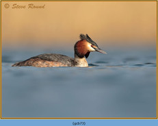 great-crested-grebe-73.jpg