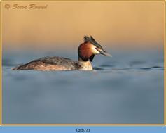 great-crested-grebe-73.jpg