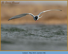 arctic-tern-48.jpg