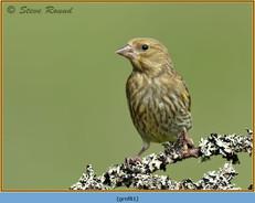 greenfinch-81.jpg