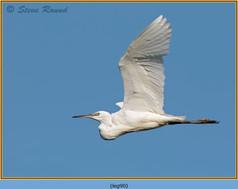 little-egret-90.jpg