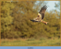 red-kite-81.jpg