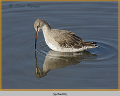 spotted-redshank-09.jpg