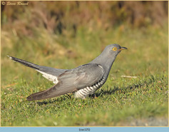 cuckoo-125.jpg
