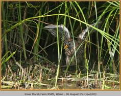 spotted-crake-03.jpg