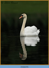mute-swan-35.jpg