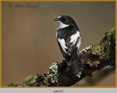 pied-flycatcher-41.jpg