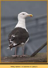 gt-b-backed-gull-11.jpg