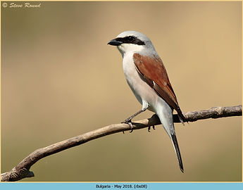 Red-backed Shrike, Lanius collurio perched on branch