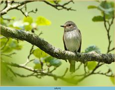 spotted-flycatcher-24.jpg
