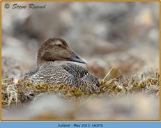 eider-duck- 75.jpg