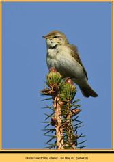 willow-warbler-09.jpg