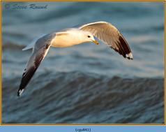 common-gull-41.jpg