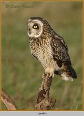 short-eared-owl-40.jpg