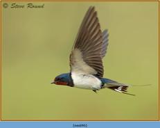 swallow-46.jpg