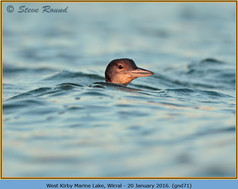 great-northern-diver-71.jpg