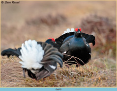 black-grouse- 93.jpg