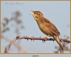 grasshopper-warbler-43.jpg