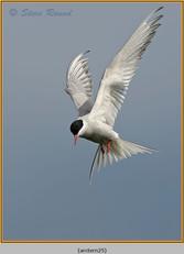 arctic-tern-25.jpg