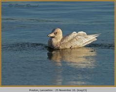 iceland-gull-15.jpg