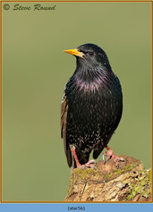 starling-56.jpg